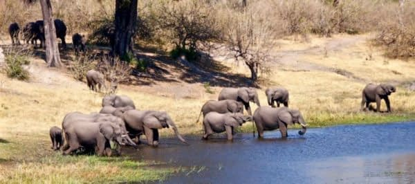 Female elephant herd in Botswana