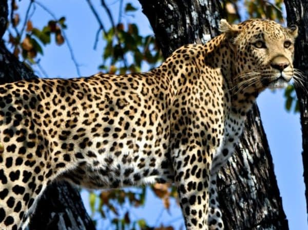 Male leopard are excellent climbers.