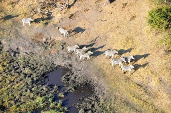 View from our helicopter. Zebras are plentiful in Botswana
