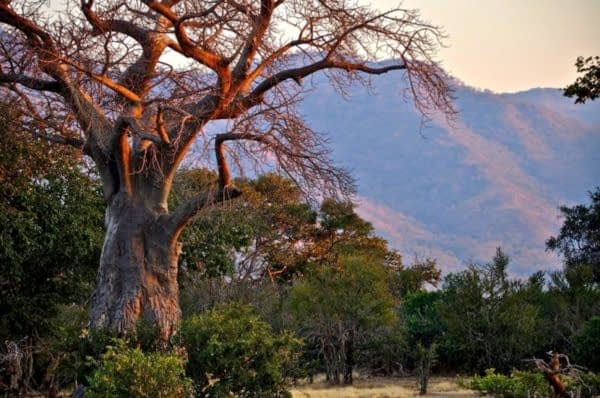 Baobob Tree, Mana Pools, Zimbabwe, Africa