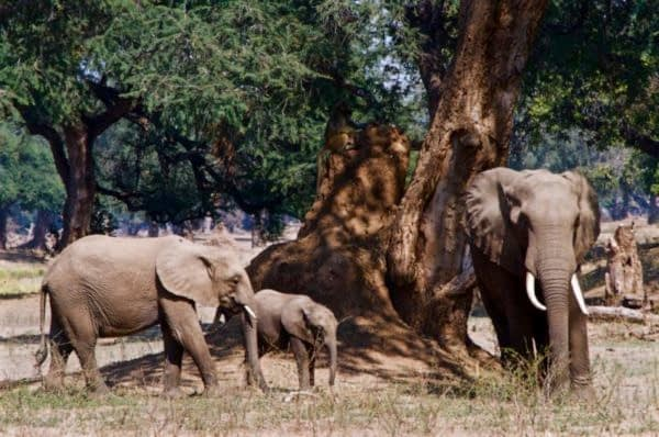 Elephant family along the Zambezi River